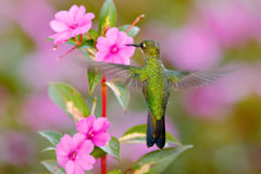 Green hummingbird Green-crowned Brilliant, Heliodoxa jacula, near pink bloom with pink flower background in Costa Rica. Action fly Stock Photo