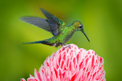 Green hummingbird Green-crowned Brilliant, Heliodoxa jacula, near pink bloom with pink flower background in Ecuador. Action fly wi. Green hummingbird Green Stock Photos
