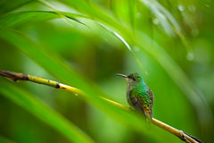 Green hummingbird in the tropical forest, Salvador Stock Photography