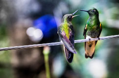 Green Hummingbirds. Black hummingbird looking for nectar in the cocora valley Royalty Free Stock Photos