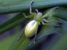Green huntsman spider Stock Photos