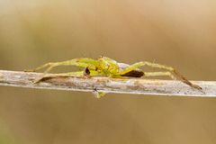 Green huntsman spider (Micrommata virescens) Royalty Free Stock Image