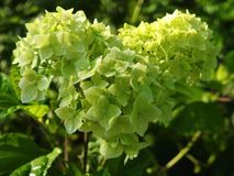 Green hydrangea flower with morning dew, Lithuania stock photo
