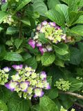 Green hydrangea. With purple tips green leaves Royalty Free Stock Photography