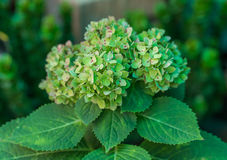 Green hydrangeas Royalty Free Stock Images