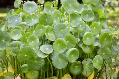 Green hydrocotyle umbellata plant in nature garden Stock Images