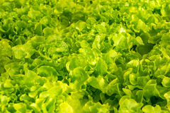 Green hydroponic organic lettuce salad vegetable Stock Images