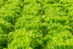 Green hydroponic organic lettuce salad vegetable Royalty Free Stock Image