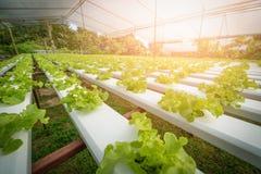 Green hydroponic organic salad vegetable in farm, Thailand. Sele stock photos