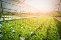 Green hydroponic organic salad vegetable in farm, Thailand. Sele royalty free stock photos