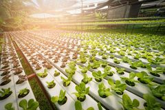 Green hydroponic organic salad vegetable in farm, Thailand. Sele stock photo