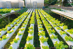 Green hydroponic vegetable. Green hydroponic vegetable for health in farm : Lettuce Stock Photography