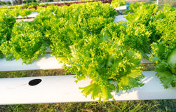 Green hydroponic vegetable. Stock Image