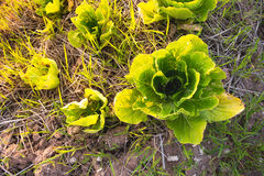Green hydroponic vegetable. Green hydroponic vegetable for health in farm : Lettuce Stock Images