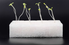 Green hydroponics sprouts in white sponge in human hand Royalty Free Stock Photography