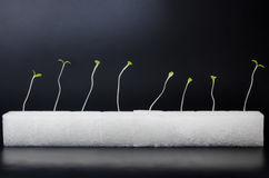 Green hydroponics sprouts in white sponge Stock Image