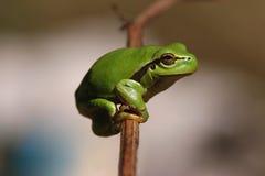 Green hyla frog Stock Photos