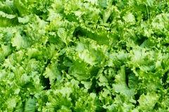 Green iceberg lettuce Royalty Free Stock Images