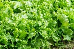 Green iceberg lettuce. Close up of fresh green iceberg lettuce growth in vegetable garden Stock Photography