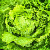 Green iceberg lettuce Royalty Free Stock Photography
