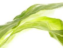 Green iceberg salad Royalty Free Stock Images