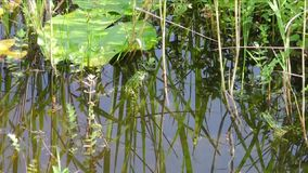 Green idyll with two green frogs. On a sunny summer day stock video footage