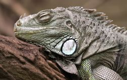 Green Iguana 01 Royalty Free Stock Photography
