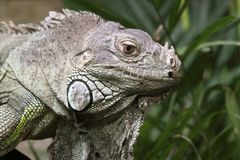 Green Iguana 02 Royalty Free Stock Photography
