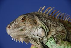 Green Iguana #1 stock photo