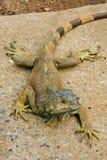 Green Iguana royalty free stock photography