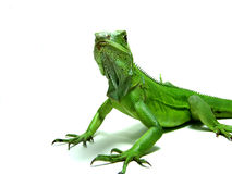 Green Iguana. Despite their name, Green iguanas can come in different colors Stock Photos