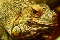 Green Iguana Stock Photos