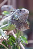 Green iguana. An inquisitive, green iguana comes out for a quick gander around Royalty Free Stock Photos