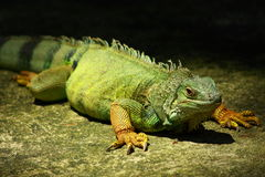 A Green Iguana Royalty Free Stock Images