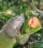Green iguana. The Green iguana or common iguana (Iguana iguana) is a large, arboreal herbivorous species of lizard of the genus Iguana native to Central and stock photography