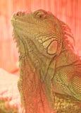 A  green Iguana. Royalty Free Stock Photo