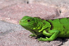 Green Iguana. A relly strong green iguana from Aruba Stock Photography
