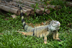 green iguana arkivfoto