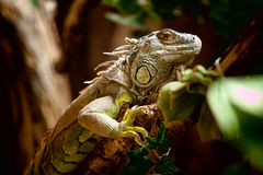 Green Iguana. A close up shot of a green Iguana resting on a tree branch Stock Photos