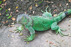 Green Iguana Stock Images