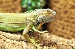 Green Iguana. Iguana in a terrarium standing on a wood branch Royalty Free Stock Photography