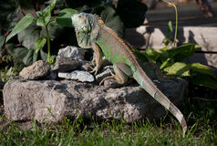 Green Iguana. Creeping on the stone in garden royalty free stock photography