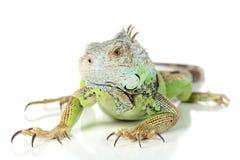 Free Green Iguana Stock Image - 20771651