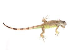 Green iguana. Image of green iguana isolted on white background Stock Photo