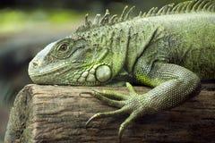Free Green Iguana Stock Photography - 21051272