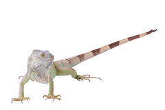 Green iguana Stock Image