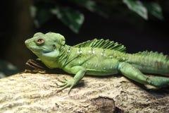 Green Iguana. A Go Green Iguana in the zoo Stock Photography