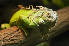 Green Iguana. A close up shot of a green Iguana resting on a tree branch Royalty Free Stock Photos