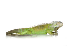 Free Green Iguana Stock Photography - 2306452