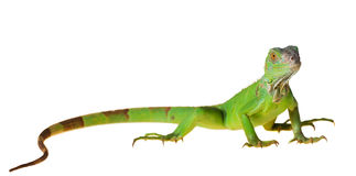 Green iguana. (Iguana iguana) isolated on white background